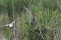 Héron pourpré (Ardea purpurea) 04.jpg
