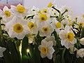 HK CWB Causeway Bay 1 Sunning Road Lee Gardens Three yellow n white flowers February 2019 SSG 02.jpg