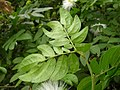 HK Calliandra haematocephala 朱纓花 plant 含羞草科 flower 紅絨球 豆科朱纓花屬 King Man Chan 2016 (6).jpg
