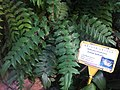 HK Central 香港動植物公園 Zoological and Botanical Gardens - Leaves 海島十大功勞 Island Mahonia Feb-2012.jpg