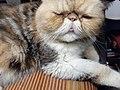 HK HH 紅磡 Hung Hom 異國長短毛貓 Exotic Shorthair bleed cat November 2020 SS2 03.jpg