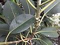 HK ML 香港半山區 Mid-levels 上亞厘畢道 Upper Albert Road flora green leaves April 2020 SS2 09.jpg