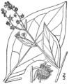 Hackelia virginiana BB-1913.png