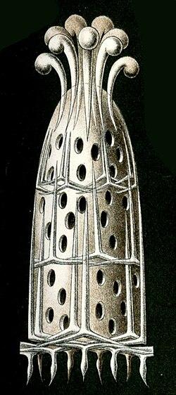 Haeckel Calcispongiae Grantia compressa.jpg