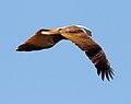 Haliastur indus -Karratha, Pilbara, Western Australia, Australia -flying-8.jpg