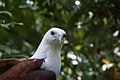 Haliastur indus -Philippine Eagle Center, Davao City, Philippines -upper body-8a.jpg