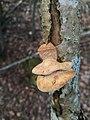 Hapalopilus rutilans 65208016.jpg