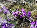 HardenbergiaViolacea Bright VIC-20171120-3.jpg