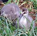 Hawaiian Goose (Nene) 2 (3429481785).jpg