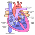 Heart labelled large.png