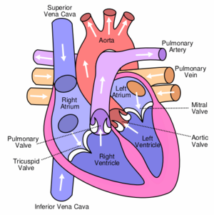 The circulation of blood through the human heart