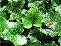 Hedera helix (English ivy) (Middletown, Ohio, USA) 1 (49113694876).jpg