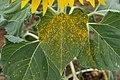 Helianthus annuus 9988.jpg