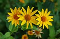 Heliopsis July 2011-2.jpg