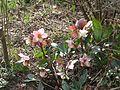 Helleborus Emma - Flickr - peganum.jpg