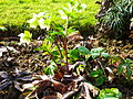 Helleborus orientalis in Jardin des Plantes 02.JPG