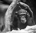 Hello, Human... (SINGAPORE ZOO-CHIMPANZEE-ANIMALS-GREETING) XIV (1418400520).jpg