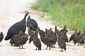 Helmeted Guineafowl and chicks 2247191680.jpg
