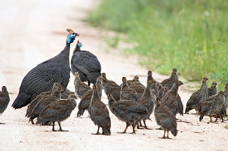 Attēls:Helmeted Guineafowl and chicks 2247191680.jpg