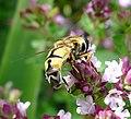 Helophilus trivittatus. Syrphidae - Flickr - gailhampshire.jpg
