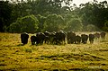 Herd of Elephant in Minneriya National Park.jpg