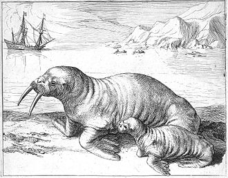 Hessel Gerritsz - Walrus and calf, from Histoire du pays nommé Spitsberghe