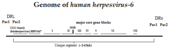 DNA virus - Genome of human herpesvirus-6, a member of the Herpesviridae family