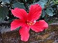 Hibiscus 9.jpg