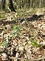 Hierochloe australis sl49.jpg