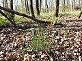 Hierochloe australis sl57.jpg