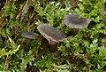 Holz-Nabeling Arrhenia epichysium 2.jpg