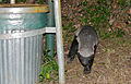 Honey Badger (Mellivora capensis) on the way to the garbage can ... (17149569327).jpg
