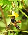 Honey Bee gathering pollen image by Dr. Raju Kasambe DSCN4801 (9).jpg