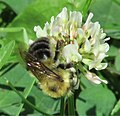 Honey Bee on White Clover (9335053131).jpg