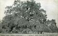 Hooker Oak.png