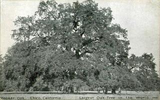 Hooker Oak Historical valley oak of exceptional size