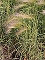 Hordeum jubatum Jęczmień grzywiasty 2009-07-11 01.jpg