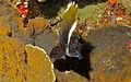 Horned Bannerfish (Heniochus varius) (8481258199).jpg