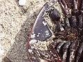 Horseshoe crab male pedipalp.jpg