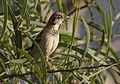 House Sparrow - Passer domesticus 01.jpg