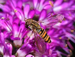 细扁食蚜蝇