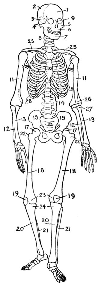 Osteology - A human skeleton (endoskeleton)