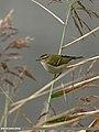 Hume's Warbler (Phylloscopus humei) (30569799232).jpg