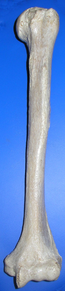Humerus ant (mirroed).png