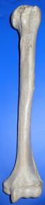 Humerus муравей (mirroed) .png