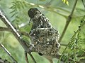 Hummingbird Nest (25644655112).jpg