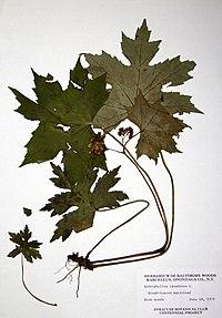 Hydrophyllum canadense BW-1979-0618-0321.jpg