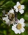 Hymenopteran - Oslo, Norway 2020-08-04.jpg