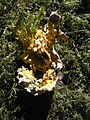 Hypomyces chrysospermus sur Boletaceae 01.jpg