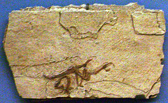 Iberomesornis - Cast of the holotype specimen, Muséum national d'histoire naturelle